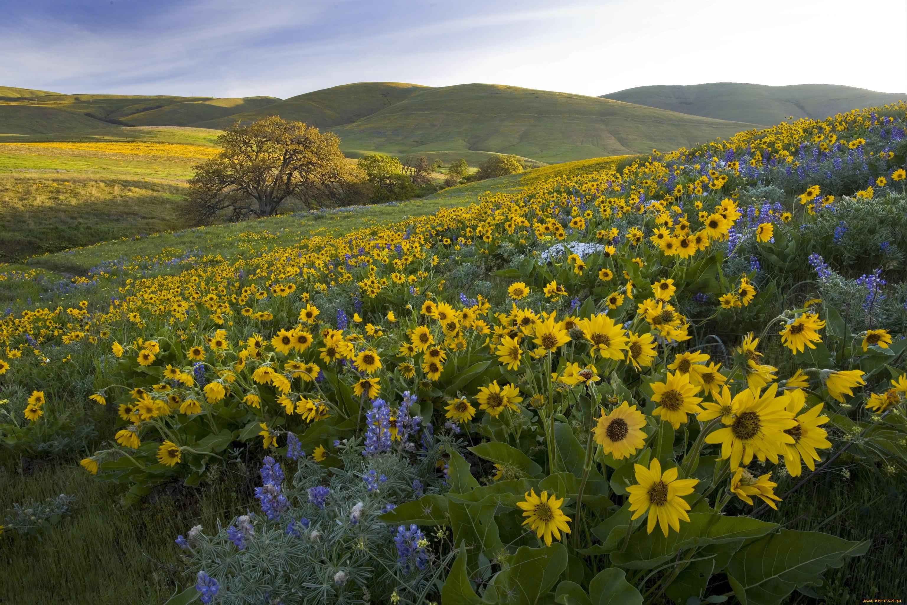 картинки полевые цветы и подсолнухи понятно почему
